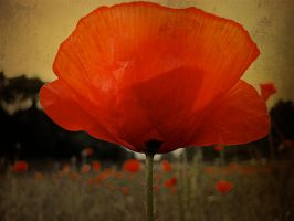 Poppy Field by markroutt