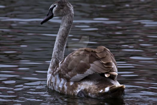 another young swan by Radicals