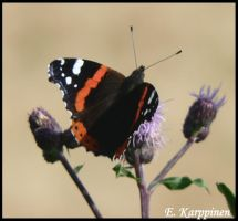 The Red Admiral by fawnDragon