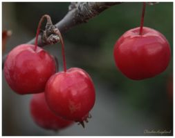 Cherry by Claudia008