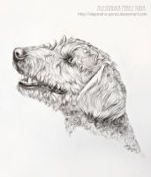 Venus - Spanish water dog by Alejandra-perez