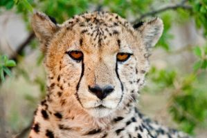 Young male cheetah by pollittpics