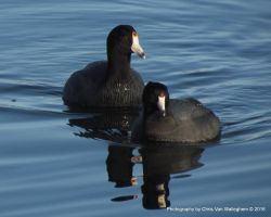 Coot Couple by vanwaglajam