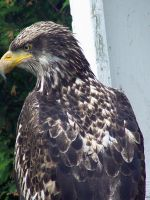 Young Bald Eagle 2 by Malakhite