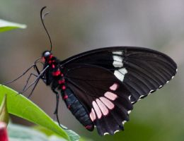 black butterfly by Cab-GdL