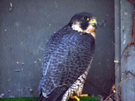 Peregrine Falcon by asaph70