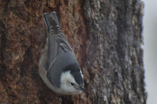 White Breasted Nuthatch by Odnoder