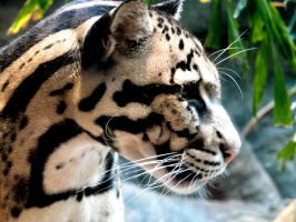 Clouded Leopard IX by Jisei