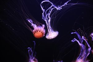 Japanese Sea Nettle (Chrysora pacifica) by Caloxort