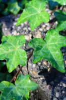 Ivy in the morning by calie4ever28