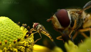 Syrphidae supermacro by TiKy2010