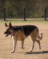 German Shepherd by JazzyPotter