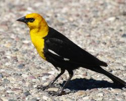 Yellowheaded Black Bird by FullofSecrets