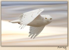Saskatchewan Snowy Owl in Flight by pictureguy