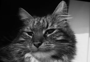Maine Coon Portrait bw by LeaHenning
