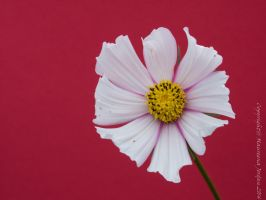 Cosmos on Red by reenaj