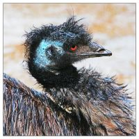 Rainy Day Emu by TeaPhotography