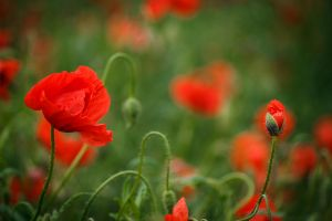 Bright poppys by sztewe