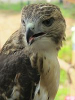 Eragon the Red-Tailed Hawk 4a by Windthin