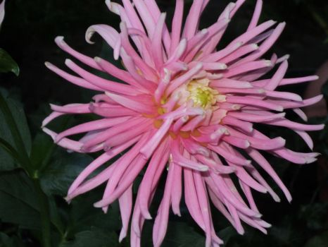 beautiful pink dahlia by idamotalove