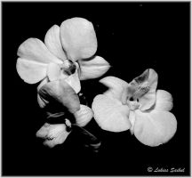 Orchids Of Thailand VIII by lukias-saikul