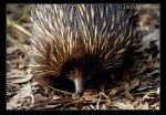 Echidna by voldee