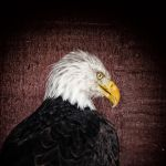 Bald Eagle Portrait 1 by Coigach