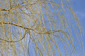 Bare Willow tree by xim0nfir3x