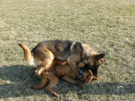Dog Fight Stock 04 by Unseelie-Stock
