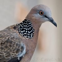 Spotted Turtle-Dove 05 by 88-Lawstock