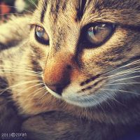 Thoughtful cat by ZoranPhoto