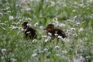 little ducks and Daisies by Kristinaphoto