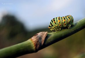 Papilio machaon by YannickDellapina