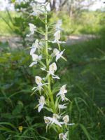 Platanthera bifolia - Wild Lesser Butterfly-orchid by spookyjules