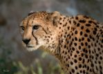 Cheetah 3 by EdgedFeather