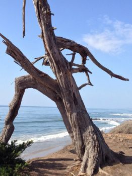 Dead Tree on the Beach by mountainliongrl