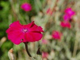 The Loner Pink Flower by ewensimpson