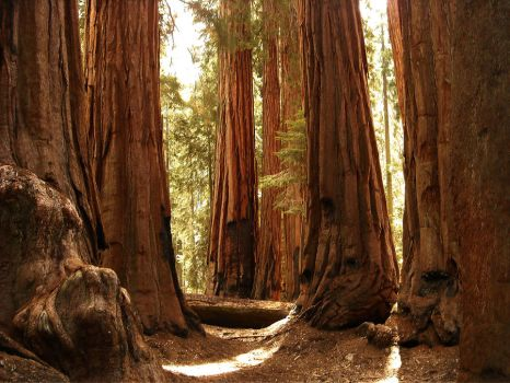 A Grove of Sequoia Trees by mit19237