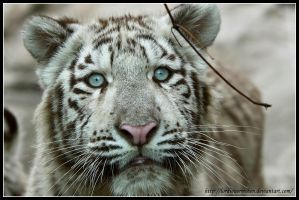White tiger cub portrait by AF--Photography