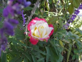 yellow-red rose with purple by bwall49