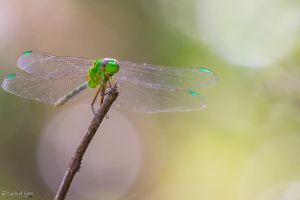 Happy green dragonfly :-) by LordMajestros