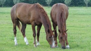 Two Chestnut Geldings by Horselover60-Stock