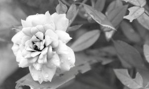 Rose in Black and White by ChanelStudio