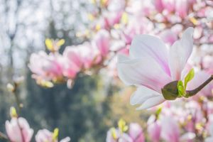 Magnolias by thougrey