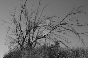 Tree on a Grey Day - BW by LastBard