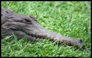 Happy Croc by TVD-Photography