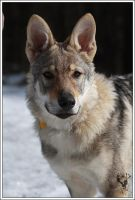 Czech wolfdog - Aschere 5 by Blondlupina