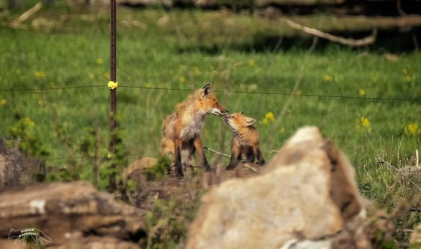 Mother Fox with Kit by Nini1965