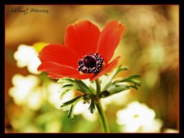 First  Anemone by ShlomitMessica