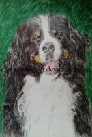 Bernese mountain dog 2014 Pen drawing by AlyssaArtsLover